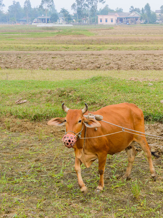 A brown cow in a green field on a farm in Vietnam.