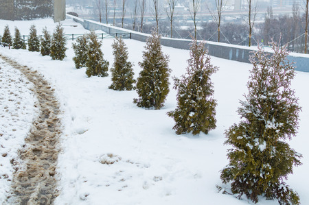 Row of Small Thuya trees is covered with snow. Thuja Smarag closeup on city landscape background. Conifer under the snow. Winter background Standard-Bild