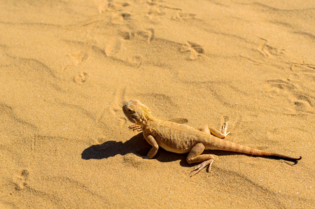 Spotted toad-headed Agama buried in sand close.