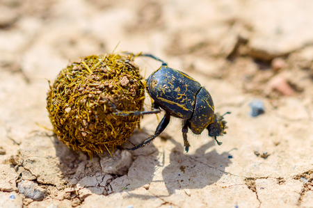 Single Scarabaeus sacer of Sacred Scarab on ground.