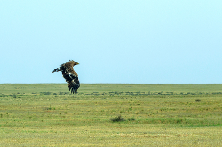 Steppe eagle or Aquila nipalensis in sky.