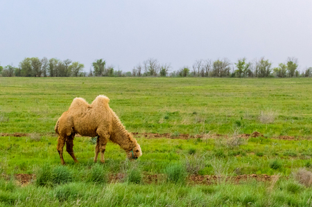 Two-humped camel standing in the grass field Imagens