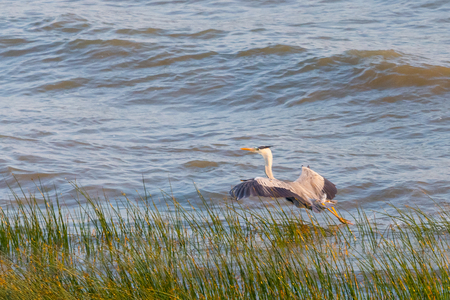 A heron hunting in the sea. Grey heron on the hunt.
