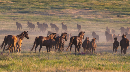 Wild horses graze in the meadow at sunset.