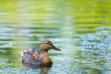 Wild duck or Anas platyrhynchos swimming in the water of lake Reklamní fotografie