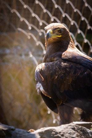 Steppe eagle or Aquila nipalensis in cage.