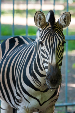 Zebra Chapman, Equus Burchelli Chapmani in zoo Stock Photo