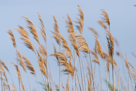 Seedy reed stalks on blue sky background.