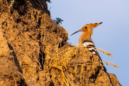 Hoopoe, Upupa epops, sitting on ground, bird with orange crest Stock Photo