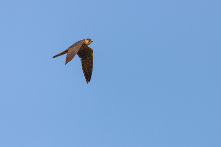 Predatory bird Eurasian Hobby or Falco subbuteo flies in blue sky. Stock fotó