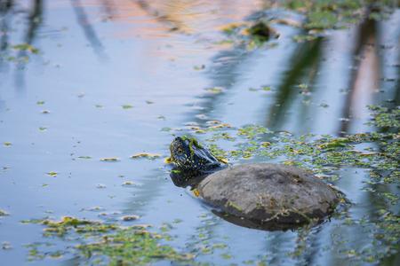European Pond Turtle or Emys orbicularis in water.