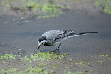 Juvenile white wagtail or Motacilla alba in wild nature
