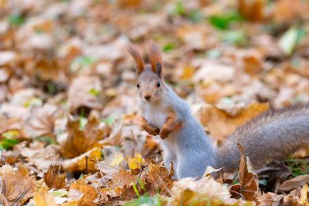 Squirrel in autumn park forest. Squirrel with nuts in autumn forest park scene. Autumn squirrel portrait. Squirrel in autumn park view Banco de Imagens