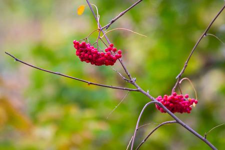 Rowan on a branch. Red rowan. Rowan berries on rowan tree. Sorbus aucuparia.