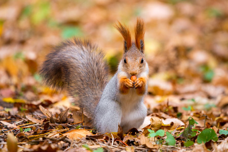 A wild squirrel captured in a cold sunny autumn day, funny cute squirrel is on the tree in autumn park. Colorful nature, fall season concept.