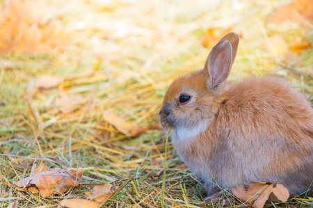 A close up picture of a young brown rabbits face in the grass.