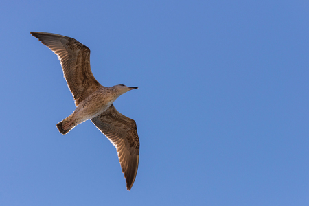 Seagull in flight in nature. Concept wild bird in nature