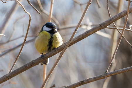 A great tit or Parus major sitting on a twig in city park