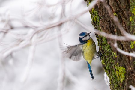 A beautiful adult Blue Tit or Cyanistes caeruleus perched on a branch.