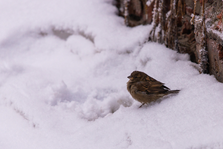 Frozen sparrow sitting on the snow in winter in search of food. Zdjęcie Seryjne