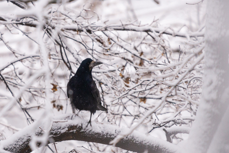 Crow on the tree in the winter, with snow in the background.
