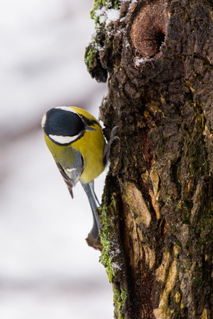 Beautiful small bird great tit or Parus major bird sitting on the snow covered tree branch in winter. Zdjęcie Seryjne