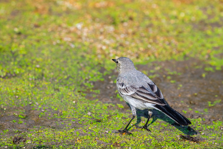 White Wagtail or Motacilla alba. Wagtails is a genus of songbirds. Wagtail is one of the most useful birds. It kills mosquitoes and flies, which deftly chases in the air.