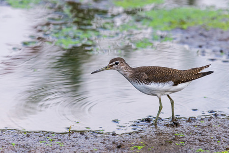 Green sandpiper or Tringa ochropus walks on lake