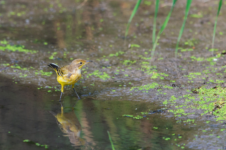 Female Western Yellow Wagtail or Motacilla flava in wild nature