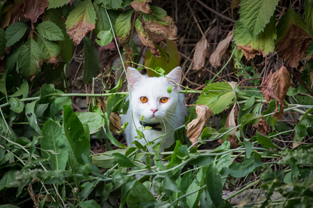 White Cat peeking through the undergrowth, ambush for hunting