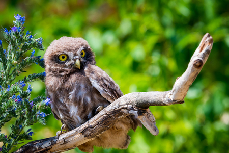 Little owl or Athene noctua on wooden branch with flowers on green background
