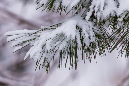 Frozen pine branches in the snow. Tree branches under snow. Snow fir tree branches under snowfall. Winter detail, natural winter holiday background. full frame. blur background