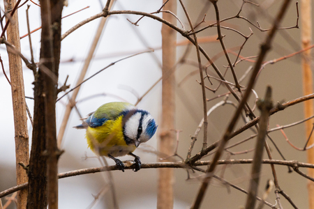 Horizontal photo of blue tit songbird. Bird with yellow, white, blue green feathers. Zdjęcie Seryjne