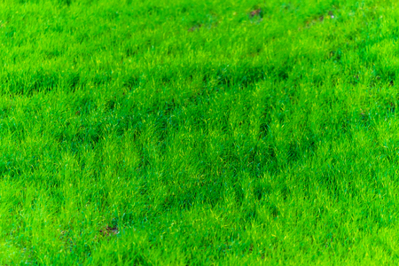 Green grass texture from a field. Natural background