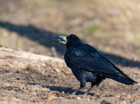 A black rook bird and looks ahead on a bright sunny day. Black feathers shimmer in different colors. Zdjęcie Seryjne
