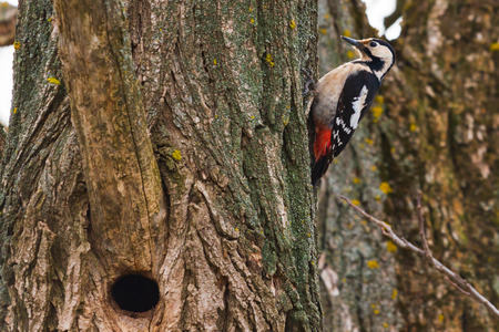 Great spotted woodpecker on a pine tree on a spring morning in the hollow building. Zdjęcie Seryjne