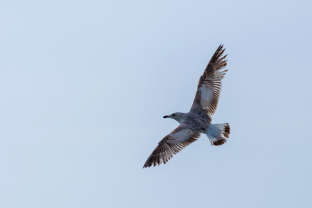 Seagull flying over blue water background. Nature concept