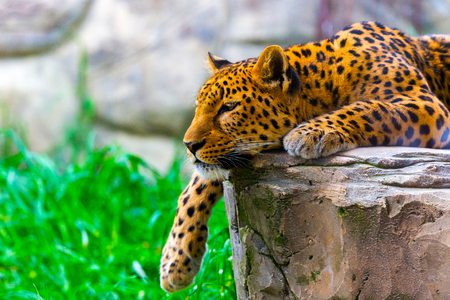 Leopard resting on a rock. Wild nature concept