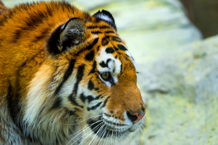 Siberian tiger, Panthera tigris altaica, also known as the Amur tiger.