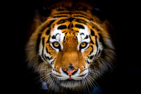 Siberian tiger, Panthera tigris altaica, also known as the Amur tiger. Фото со стока