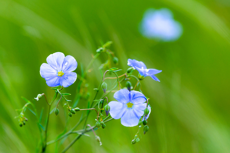 Blue flowers of flax in a field against green background, in summer, close up, shallow depth of field. Zdjęcie Seryjne
