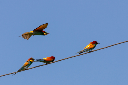 Bee-eater, European bee-eater bird on power line wire.