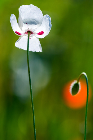 White poppy flower on green background. Nature concept