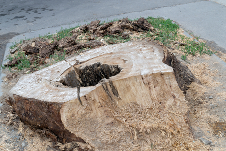 Old wooden stump with a hole in the middle. Sawn wooden stumps are on the ground.