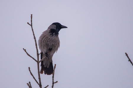 Grey crow standing on tree branche on cloudy sky background.