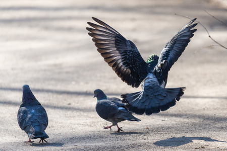 The mating season of birds - a male pigeon flies to the female pigeon, Sunny spring day.