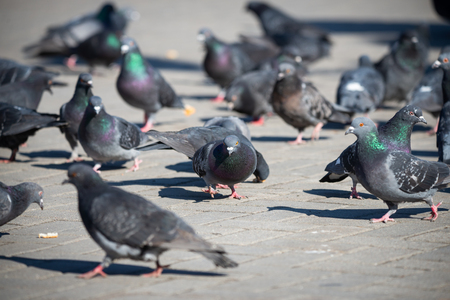 Pigeons on the town square, city life, Selective Focus. Recreation Holiday Concept.