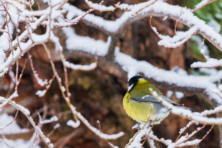 Beautiful small bird great tit or Parus major bird sitting on the snow covered tree branch in winter. 免版税图像