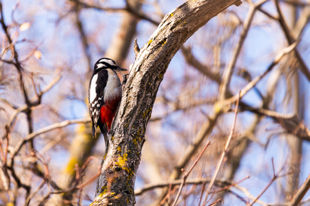 Great spotted Woodpecker perched on a birch branch photographed horizontally.