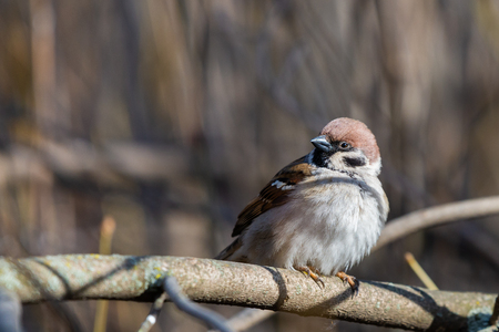 Eurasian Sparrow on the branches in city park.